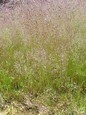 200 Samen Wolkengras Nebelgras - Agrostis nebulose