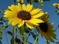 Sunflower Seeds 500 Wild Sunflower Seeds Helianthus Annuus