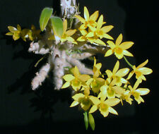 Rare orchid seedling (Bloom size) - Dendrobium senile
