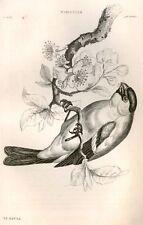 Bechstein's Caged Birds Engraving-1857- BULLFINCH