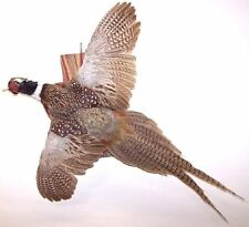 Flying Ring-neck Pheasant Taxidermy Mount