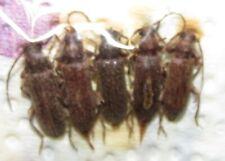 FFL17 CERAMBYCIDAE Trichoferus spartii FROM CROATIA  set of 5