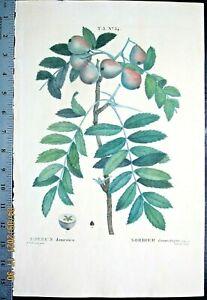 Redoute P.Service tree,Sorbus domestica,color-printed Engraving,c.1810 #34