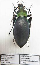 Carabus coptolabrus jankowskii pseudosobaekensis (female A1) from CHINA