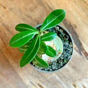 Adenium Obesum 'Desert Rose' House Plant