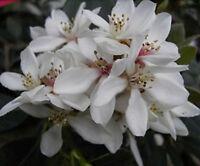 Rhaphiolepsis umbellata 30-40, japanische Weißdolde, Blüte in weißen Dolden