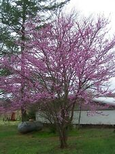 """1 Redbud Tree(Cercis Candensis)4"""" container"""