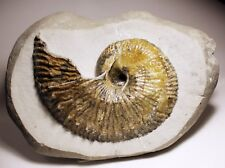 Large calcite filled Becheiceras Gallicum ammonite fossil - Charmouth Jurassic