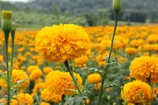 100 seeds of Tagetes erecta seeds in season Not a genetically engineered plant