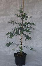 Eucalyptus Gunnii, Eucalyptus Cider Gum,Evergreen 75 - 100cm inc. Pot.