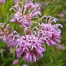 Grevillea sericea pink flower form native plant in 50mm pot
