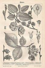 B0864 Olmo - Xilografia d'epoca - 1890 Vintage engraving