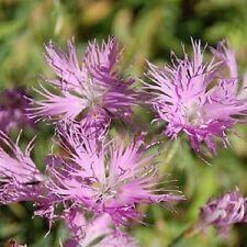 30+ Purple Superbus Carnation Dianthus / Perennial Flower Seeds