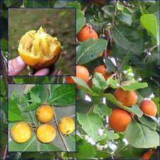 Diospyros rhodocalyx Kurz 10 Seeds, Ebony   for planting From Thailand