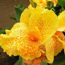 Canna Lily YELLOW LEOPARD broad leaves spotted flowers BULB RHIZOME garden plant