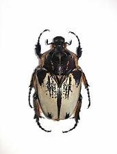 Giant Goliathus cacicus female!!! 73mm !!
