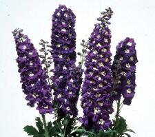 Flower - Delphinium - Magic Fountains - Dark Blue White Bee - 25 Seeds