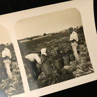 Vintage Silver Photo Stereoview Card Taormina Sicily Italy Harvest of Tomatoes