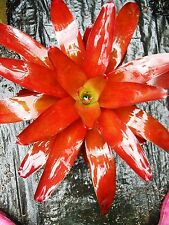 BROMELIAD Neoregelia ORANGE TART small grower