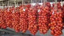 piantine pomodori del piennolo del vesuvio seccagne lotto 25 piantine