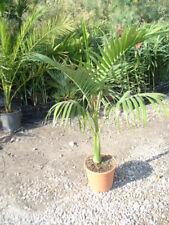 Archontophoenix alexandrae - Feuerpalme - Pflanze 140-150cm (1 oder 2 Pflanzen)