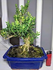 Chinese Boxwood (Buxus Harlandii) Flowering Bonsai Tree in 20cm Pot