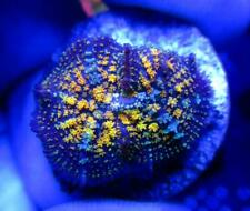 New listing Live Coral Dreef Gonzo Golden Dragon Bounce Mushroom, Zoa, Wysiwyg
