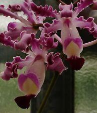Schomburkia ´Mystic Ladys Dream´ Hybride Duft Cattleya NEW Orchidee Orchideen
