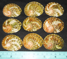 40-55 mm 9 Pcs GREEN Haliotis Ovina Abalone Seashell