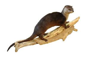 Otter Walking Taxidermy Wall Mounted Animal Statue