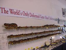 """(G-Def-306) 4-1/8"""" Deformed Gator ALLIGATOR Aligator HEAD teeth TAXIDERMY"""