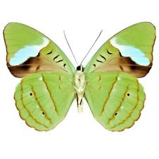 Nessaea hewitsoni One Real Butterfly Green Peru Unmounted Wings Closed