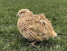 25+ Autumn Amber Coturnix Quail Hatching Eggs By Myshire Farm. Aka roux Italian!