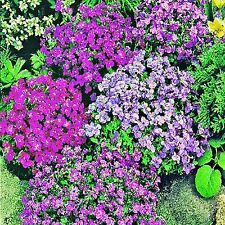ROCK CRESS SEED AUBRIETA HYBRIDA FLOWERING CASCADING GROUNDCOVER 300 SEEDS