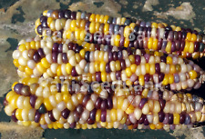 Corn Colour Chaos - A Rare, Stunning Corn Variety!!! - 5 Seeds