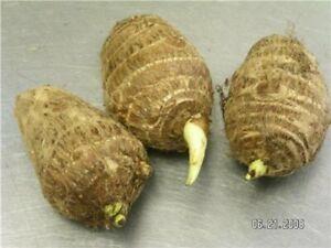 3 LIVE BULBS Colocasia Esculenta Elepant Ear Taro Gabi Kalo Eddo Bulbs FAST GROW
