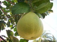 5 Fresh Thai Grapefruit, Pomelo Seeds, citrus maxima from my garden
