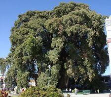 Taxodium mucronatum (huegelii) MONTEZUMA CYPRESS Seeds!