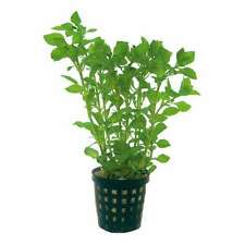 "6 X 5 cm ollas de Ludwigia palustris ""verde"""