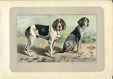 Stampa antica CANE BRIQUET SVIZZERO SUISSE 1907 Old antique print dogs