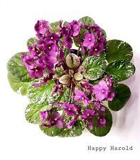 African Violet Happy Harold- Variegated Vintage Starter Plant/Plug