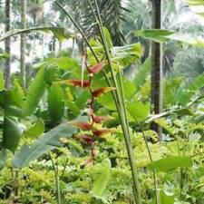 Heliconia Platystachys 'Sexy Orange' - 6 Seeds - Tropical Wonder