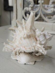 Antique Victorian Souvenir Murex Shell - Circa 1800's