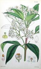 Zieria macrophylla, Flor, Walter Hood Fitch Antiguo botánico de impresión de 1849