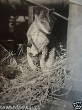 OLD VINTAGE BLACK and WHITE PHOTO AUSTRALIAN KANGAROO JOEY IN POUCH PHOTOGRAPH