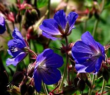 HARDY PERENNIAL GERANIUM MIX Pink Blue Red White Mauve Flowers 10 Seeds