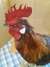 taxidermie, grand coq gaulois, oiseau naturalisé