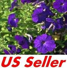 200 Seeds Deep Purple Petunia Nana Compacta Alderman B108, Annual Garden Flowers