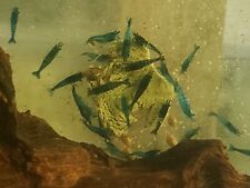 6 + 1 Blue Velvet Live Aquarium Shrimp Neocaridina Tank Raised + 1 Moss Ball