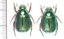 Ruterinae:Mimela yonaguniensis pair ,A1, unmounted,Japan,beetle